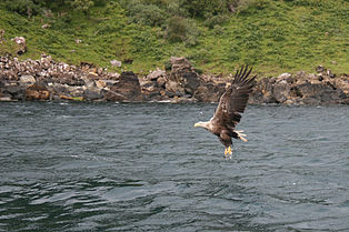 White tailed eagle / Photo: Dmgultekin licensed under Creative Commons
