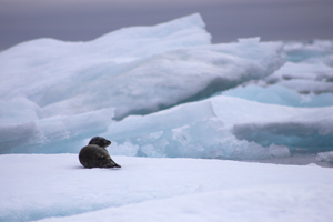 Seal on ice. Photo Garry Donaldson. CLICK TO DOWNLOAD LARGE IMAGE