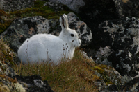 Arctic hare / Photo: Carsten Egevang, ARC-PIC.com
