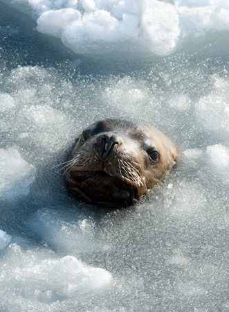 Sea ice associated seal / Photo: Irina Igumnova