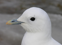 Ivory gull Photo: Todd Boland/Shutterstock.com