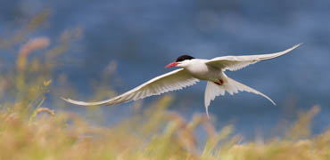 Arctic tern. Photo: Mark Medcalf/Shutterstock.com