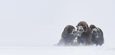 Muskox in winter