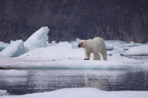 Polar bear. Photo: Garry Donaldson CLICK TO DOWNLOAD LARGE IMAGE