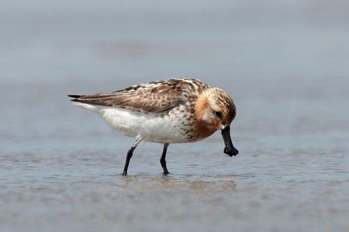 Spoon-billed Sandpiper. Photo: Peter and Michelle Wong