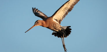 Black tailed Godwit: Bart van Dorp/Flickr Creative Commons 2.0