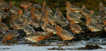 Red knot: Morten Ekker