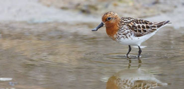 Spoon-billed Sandpiper. Photo: Chris Miller