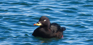 Velvet Scoter Photo: Asa Berndtsson