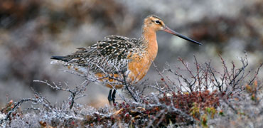Bar-tailed Godwit: USFWS/Flickr Creative Commons 2.0