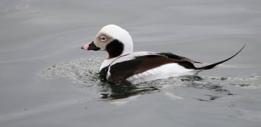 Long-tailed duck: Morten Ekker