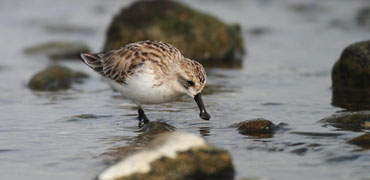 Spoon-billed sandpiper: feathercollector/Shutterstock.com