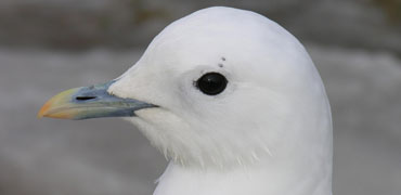 Ivory gull. Photo: Todd Boland/Shutterstock.com
