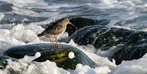Purple sandpiper. Photo: Morten Ekker