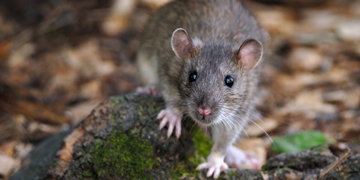 Brown rat. Jean-Jacques Boujot/Flickr.com