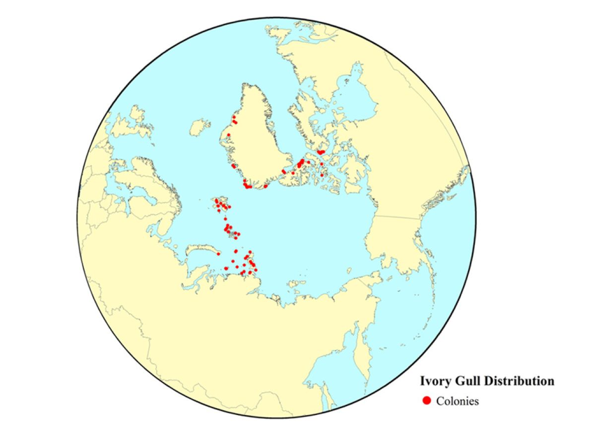 The Distribution of Known Breeding Colonies of Ivory Gull Pagophila eburnean within the Arctic 2008